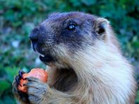 Местные власти призывают не охотиться и не есть животных, которые могут стать его переносчиками - в частности, такими являются грызуны, например монгольские сурки