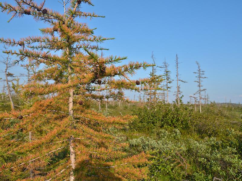 Ученые заявили, что причиной гибели лесов под Норильском стало промышленное загрязнение