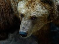 В Подмосковье медведь укусил за голову 12-летнего ребенка после представления в цирке