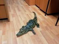 В Вологодской области недавно освободившийся из колонии местный житель пришел в отделение полиции в селе Тарногский Городок с крокодилом