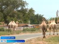 В Астраханской области администрация района подала в суд на 84-летнего фермера из‑за сбежавших верблюдов