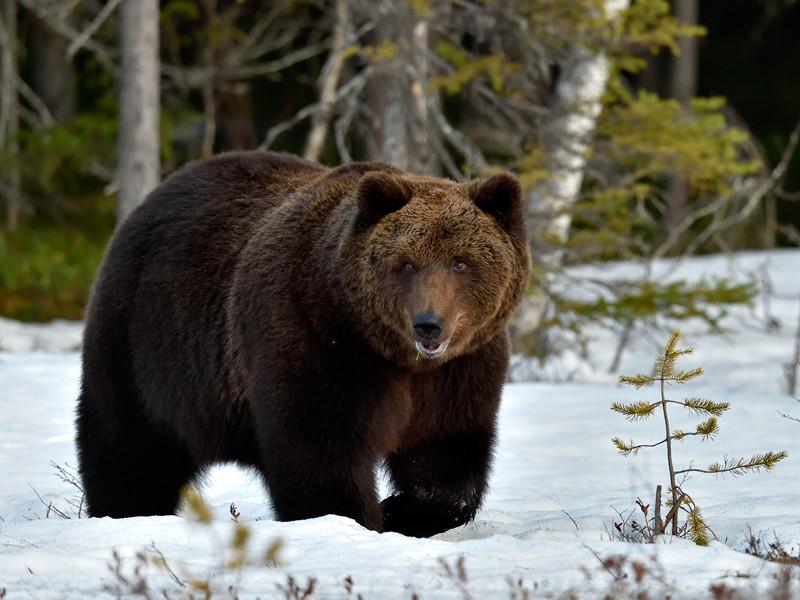 Власти Подмосковья разрешили отловить медведя-шатуна, замеченного под Мытищами