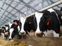 В Прикамье проверяют сообщения о гибели коров от неизвестного вируса