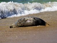 В Дагестане нашли почти 300 мертвых краснокнижных тюленей