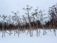 Распространение сорняка считается опасным для экологического состояния территории. Это растение легко дичает и проникает в естественные экосистемы, практически полностью разрушая их