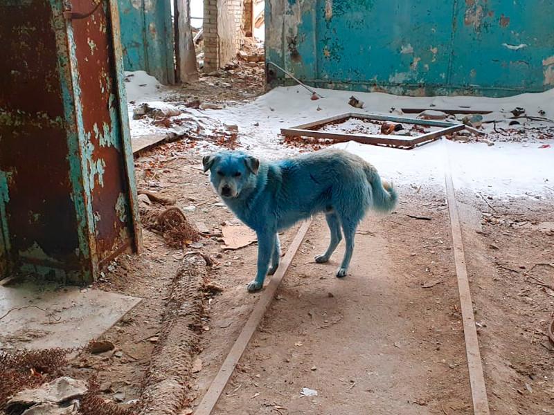 В Дзержинске на предприятии «Дзержинское оргстекло» обнаружили около 10 собак, окрас части из них был неестественного синего цвета