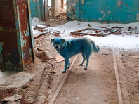 Ветеринары осмотрели стаю синих собак в Дзержинске, но не нашли причины посинения