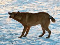 В Красноярске впервые в России дошло до суда дело о нападении бродячих собак