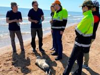 В Дагестане вновь зафиксирована массовая гибель каспийского тюленя