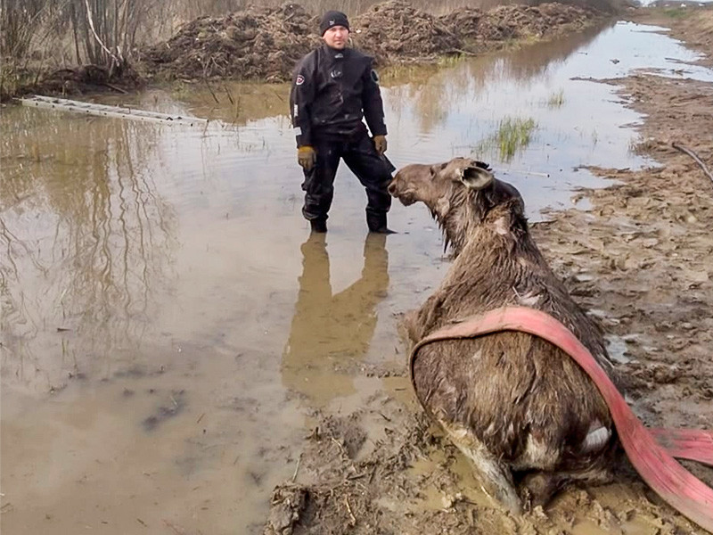In the Novgorod region, EMERCOM employees pulled out a drowning elk from a reservoir