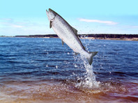 Собеседники издания называют основной причиной резкого подорожания уменьшение вылова лососевых и производства икры