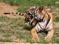 """Специалисты по охране дикой природы в Таиланде начали вывозить тигров из знаменитого буддийского монастыря в провинции Канчанабури, также известного как """"тигриный монастырь"""""""