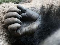 В США требуют наказать родителей ребенка, из-за которого в зоопарке застрелили гориллу