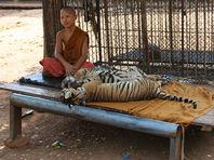 Из знаменитого буддийского монастыря в Таиланде вывозят тигров