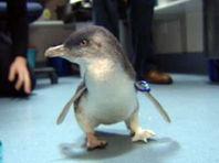 В Новой Зеландии пингвину-инвалиду установили протез, сделанный на 3D-принтере