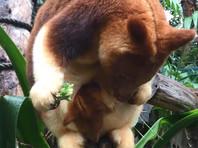 В австралийском Перте из материнской сумки высунулся и попал на ВИДЕО новорожденный древесный кенгуру