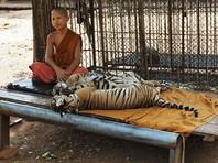 В буддийском монастыре в Таиланде нашли еще 30 трупов тигрят