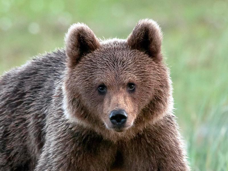"""В Финляндии молодой медведь в минувшие выходные сорвал учения, пробравшись на тренировочную базу военизированной бригады """"Кайнуу"""", состоящей из трех тысяч солдат"""