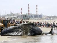 В Лос-Анджелесе с пляжа отбуксировали тушу мертвого кита, который при жизни был звездой интернета