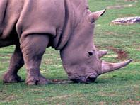 Северокорейских дипломатов уличили в контрабанде рогов носорога из Африки