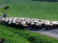 В Германии собаку судят за стресс у овец - по версии истца, 12 животных умерли от страха