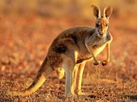 Незадачливый кенгуру в Австралии застрял в пакете из-под попкорна и боднул головой машину (ВИДЕО)