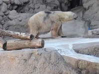 В Аргентине умер последний белый медведь: 30-летнее животное погибло из-за жары