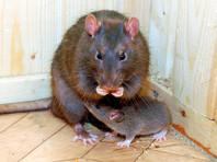 Новая Зеландия поставила амбициозную цель - истребить всех крыс за 35 лет