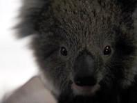 В Австралии коала забралась в дом в отсутствие хозяев и оккупировала диван