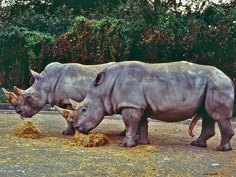 В зоопарке Дублина выясняют, как ребенок оказался в загоне для носорогов