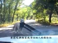 В пекинском сафари-парке, где растерзали женщину, тигр напал на машину (ВИДЕО)