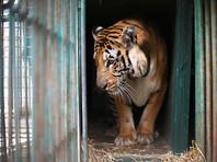 После курса реабилитации в Израиле часть из них будет переправлена в зоопарки Южной Африки и Иордании, сообщает NEWSru Israel. Инициатором переезда животных стала палестинская сторона