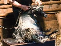 Ирландец побил мировой рекорд по стрижке овец на скорость за счет одного ягненка (ВИДЕО)