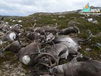 В Норвегии зафиксирована массовая гибель оленей от удара молнии (ВИДЕО)
