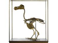 На аукцион впервые за 100 лет выставят редкий скелет птицы додо