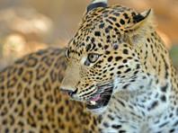В Индии леопард ворвался в номер к молодоженам (ВИДЕО)