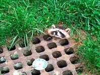 В США полицейские спасли енота, застрявшего головой в канализационной решетке (ФОТО)