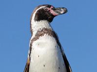 В Перу проголодавшийся пингвин совершил шумный визит на кухню местных жителей