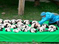В Китае публике впервые показали сразу 23 панды, родившихся в 2016 году (ВИДЕО)