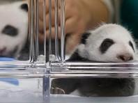 В Венском зоопарке месяц выясняли пол двух новорожденных панд