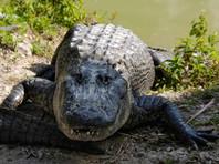 Во Флориде аллигатор покусал купавшегося в реке бомжа