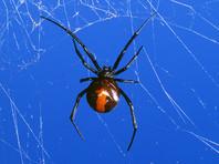 В Австралии строитель второй раз за полгода пострадал от укуса паука в пенис