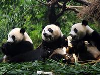 Большие панды перестали быть вымирающими и стали уязвимыми
