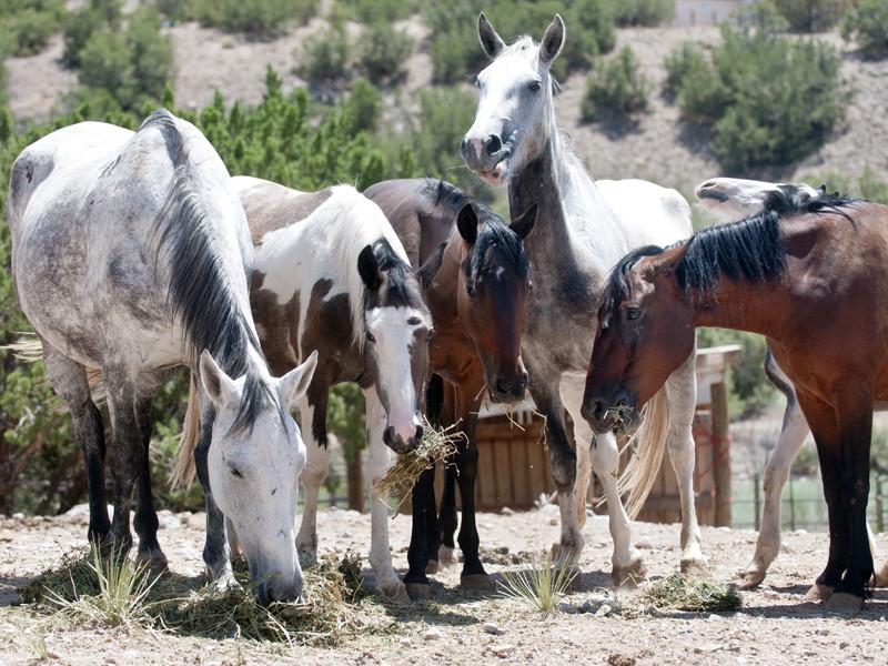 Власти США решают проблему расплодившихся диких лошадей - 45 тысяч животных могут убить