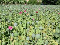 В Афганистане выросла площадь опийных плантаций