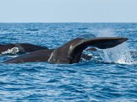 В Австралии китенок спас мать, застрявшую на мелководье (ВИДЕО)