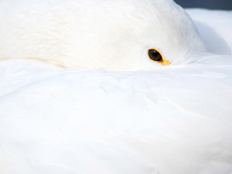 """Браконьеры в Китае отравили 230 лебедей на """"Лебедином озере"""", чтобы сдать их в рестораны, где лебедей едят, несмотря на отравленное мясо"""