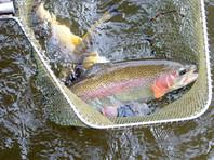 Власти Дании попросили рыбаков выловить 80 тысяч форелей, случайно оказавшихся на воле