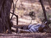 В Индии сотни охотников полтора месяца гонялись за тигрицей, поедавшей людей