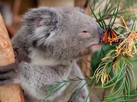 В австралийском зоопарке бабочка спонтанно поучаствовала в фотосессии с детенышем коалы (ВИДЕО)